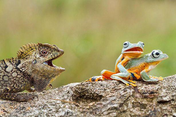 蠢萌!好奇蜥蜴目不转睛观看青蛙交配