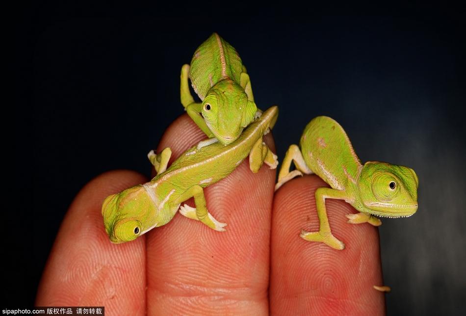 澳动物园变色龙幼仔仅手指大 可爱至极