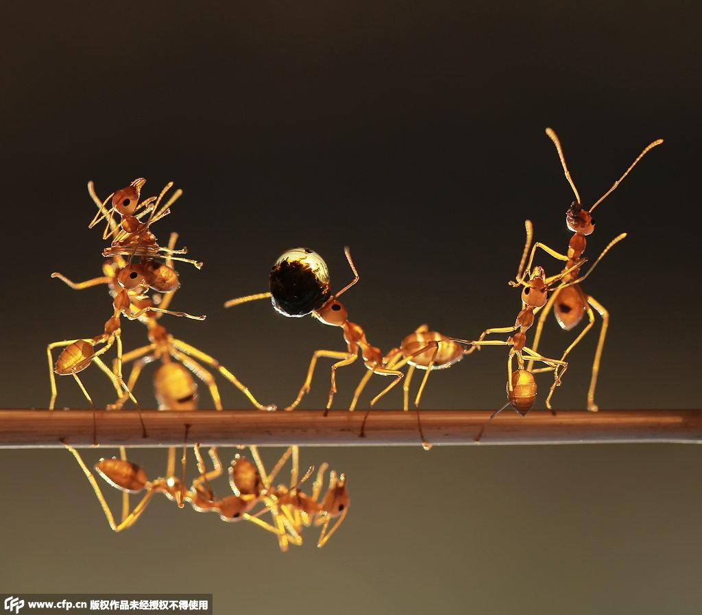 蚁群小树枝上叠罗汉 齐心协力运水珠回巢穴