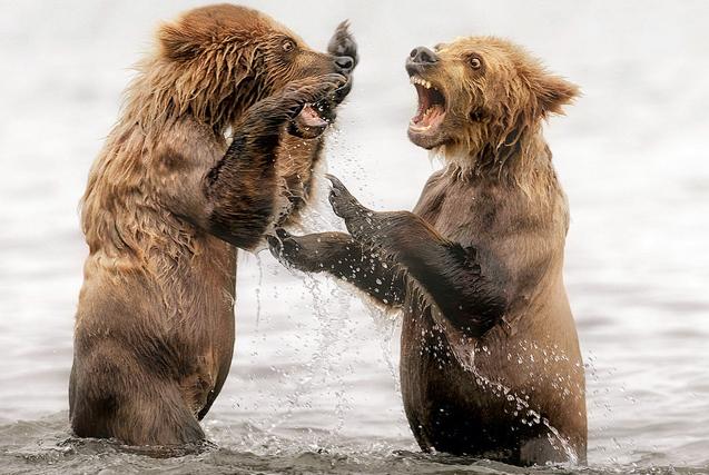 堪察加小熊模仿成年熊打架