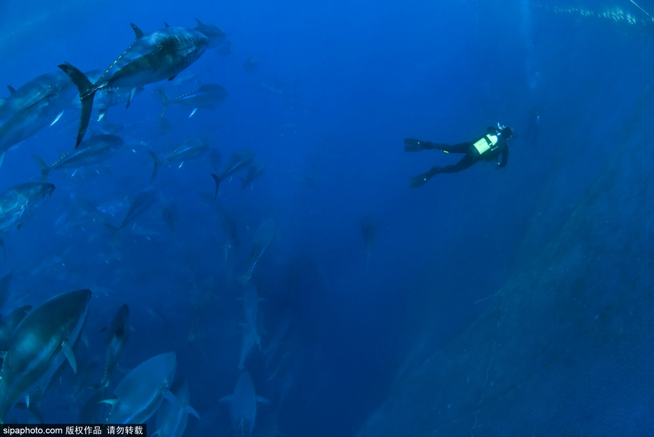意大利渔民捕捞蓝鳍金枪鱼震撼镜头