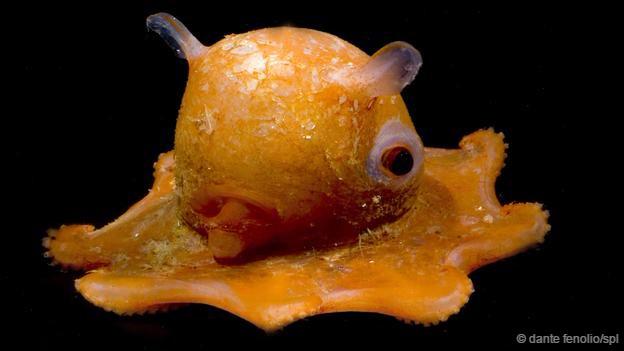 古怪而奇妙的图片:深海章鱼可爱外形似小黄鸭