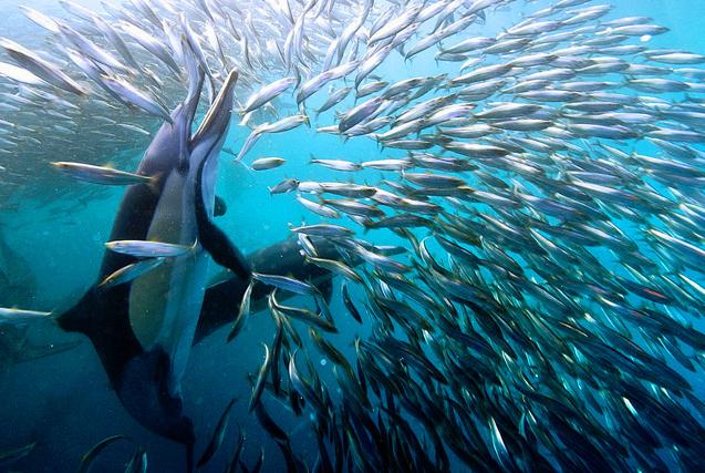 图片一周精选 南非鲨鱼鲸鱼海豚围捕沙丁鱼