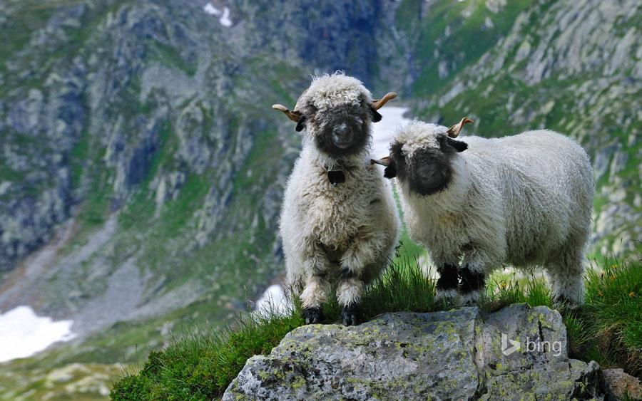瑞士瓦莱黑鼻羊 黑脸萌照惹人爱
