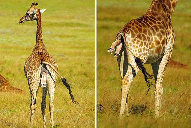 南非野生长颈鹿生宝宝  游客目睹全程