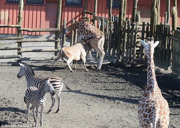 羚羊发功 动物园内将长颈鹿刺死