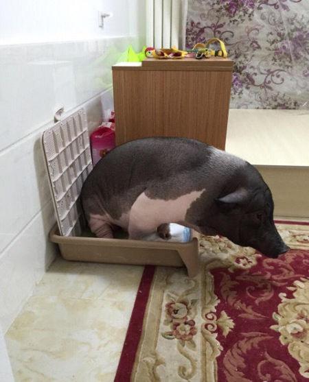 同一被窝#和猪睡觉#】这是北京一姑娘@猪颠颠 养的宠物,叫五花