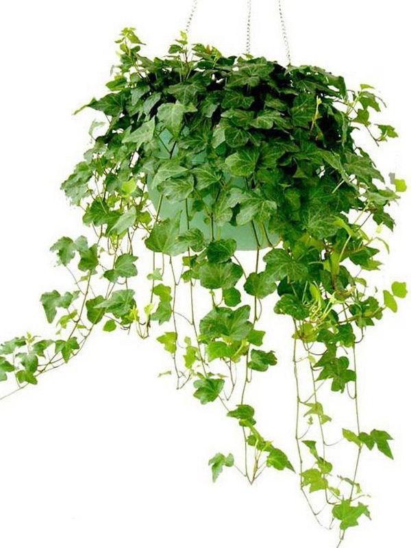 这11款植物是除甲醛高手