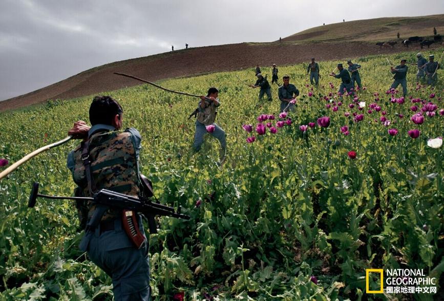 鸦片王国阿富汗:罂粟易禁瘾难除
