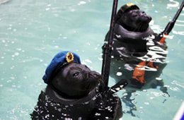 """俄罗斯海豹""""扛枪""""水中列队阅兵"""