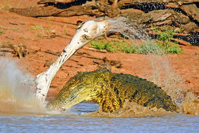 """南非""""力量帝""""鳄鱼将斑马撕成碎片"""