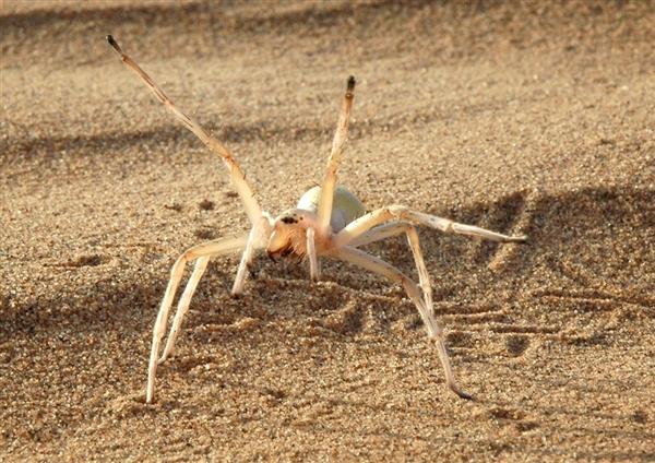 2015年最新发现的十大新物种:翻滚的蜘蛛
