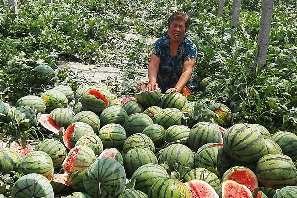 河北保定4.5亩西瓜一夜被砍
