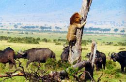 肯尼亚狮子为躲避水牛袭击逃上树