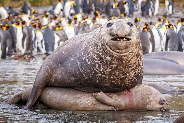 摄影师拍南象海豹交配 四吨大胖压趴女友