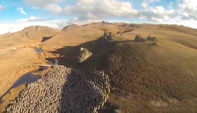 新西兰农民用无人机代替牧羊犬放2000只羊(组图)