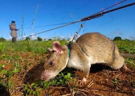而比利时人扫雷的小动物是不太受人们欢迎的大老鼠