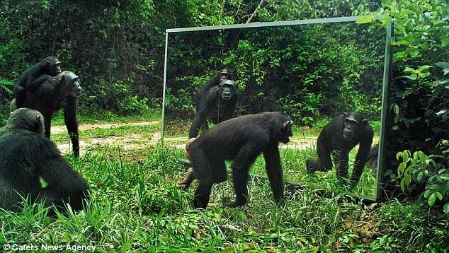 当野生动物遇见镜子中的自己:大猩猩发狂攻击