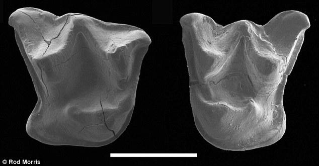新西兰现1600万年前蝙蝠化石 可四肢行走
