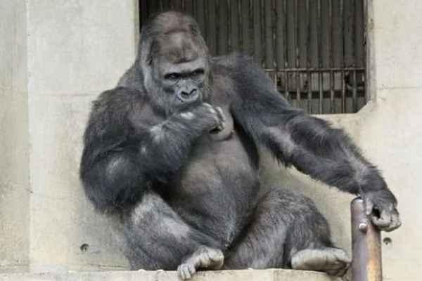 动物园猩猩因长相太帅 女性游客慕名而来