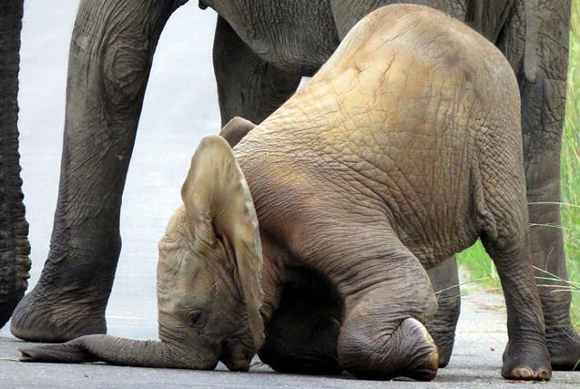 南非三周大小象学步维艰不停栽跟头