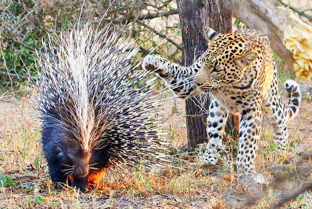 机智花豹欲捕食豪猪用爪子试探后放弃