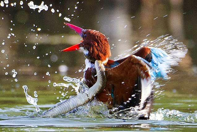 印度翠鸟与蛇展开激战趁机逃脱