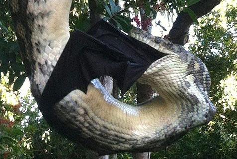 澳巨蟒吞食大蝙蝠