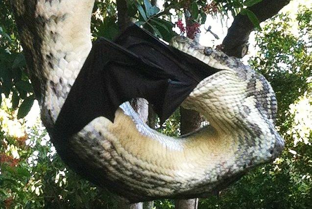 澳巨蟒悬垂树叉半小时吞食大蝙蝠