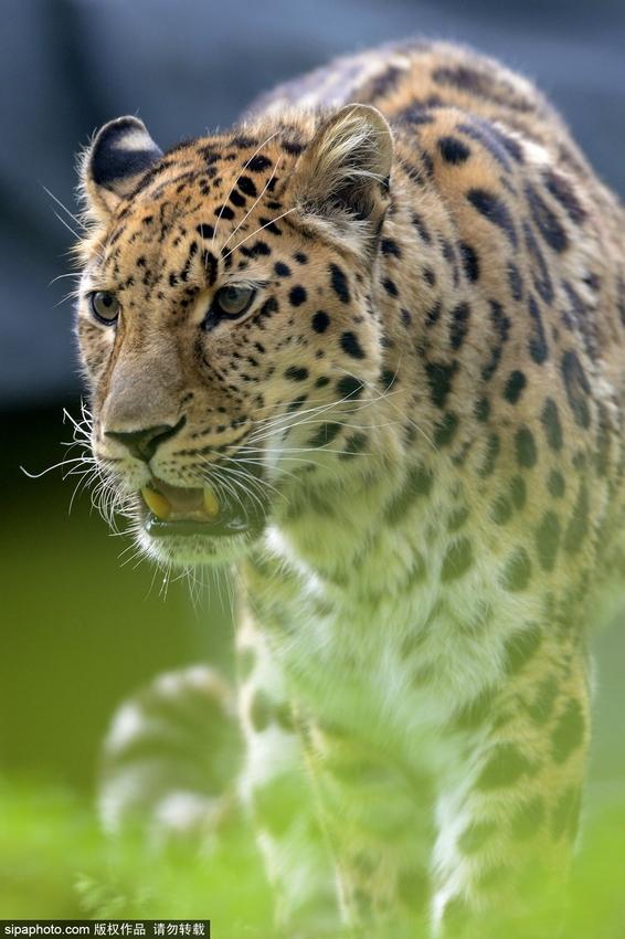 捷克动物园珍贵东北豹英姿