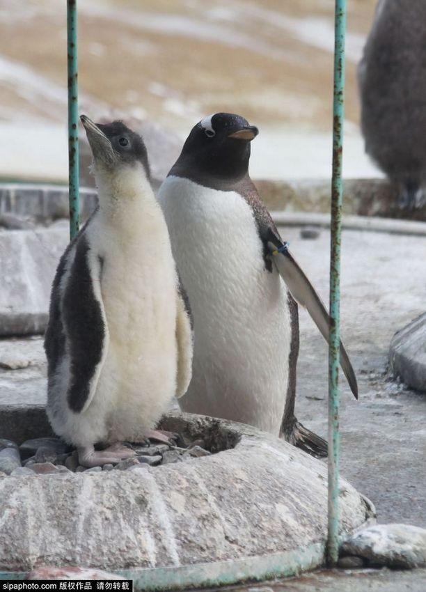 爱丁堡动物园迎来16只呆萌巴布亚企鹅