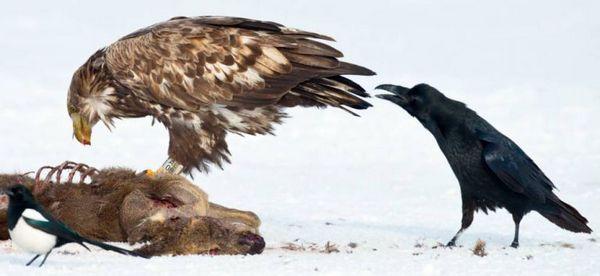 动物/【环球网综合报道】据英国《都市日报》7月20日报道,乌鸦可以...
