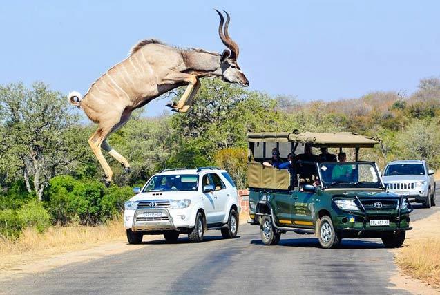 环球图片一周精选 南非条纹羚公路展高强弹跳力