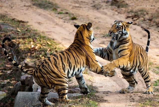 世界老虎日:野外摄影师记录濒危老虎