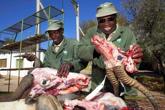 非洲血腥动物标本加工 场面触目惊心