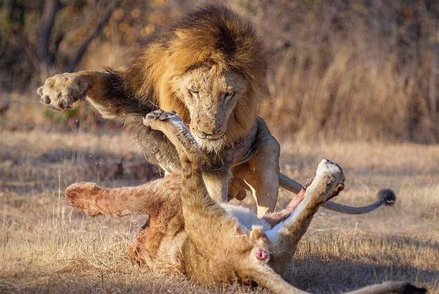 南非群狮为猎物展开厮杀尽显狂野本色