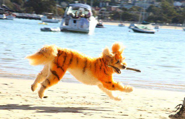澳宠物美容师将狗装扮为老虎意外拓商机