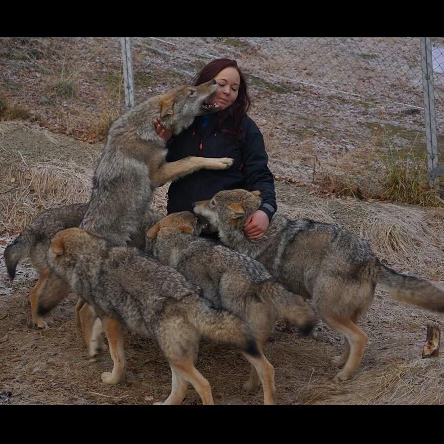 挪威野生动物园提供游客与狼零距离接触机会