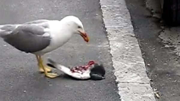 不忍直视:残忍海鸥啄出海豹幼崽眼睛致其饿死 科技 环球网