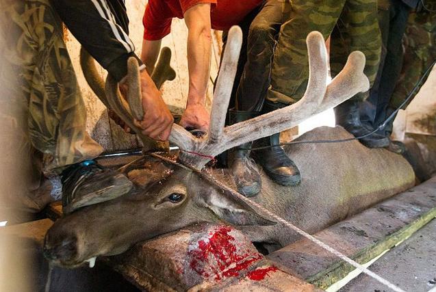 西伯利亚赤鹿惨遭割角场面触目惊心