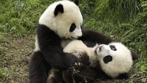 熊猫是稀有动物,目前世界上有约1850只熊猫,绝大多数在中国.