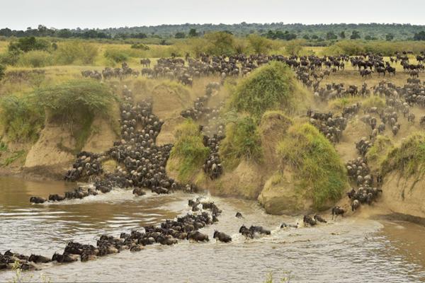 肯尼亚角马大迁徙 万马奔腾蔚为壮观