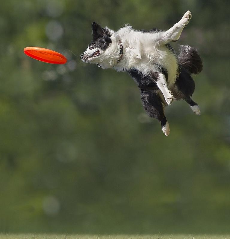 飞盘狗比赛_意大利狗狗比赛接飞盘 可跳1米8高_博览_环球网