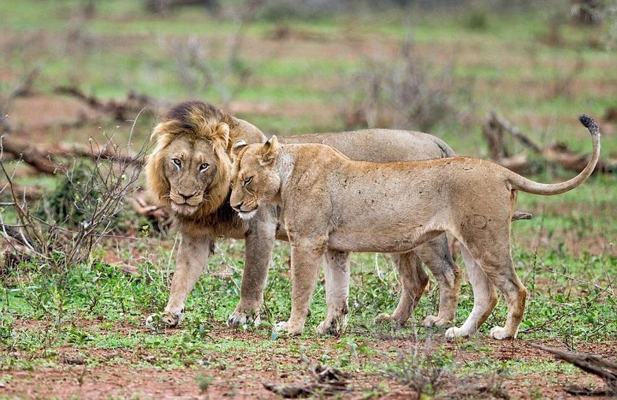 南非两雄狮为争与雌狮约会激烈互殴