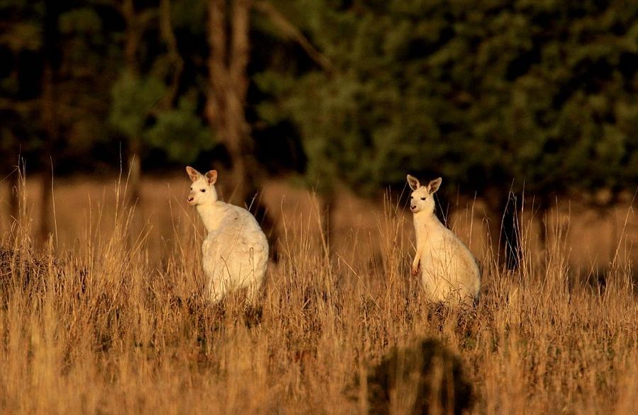 澳白化病袋鼠因视力听力不佳易成猎物