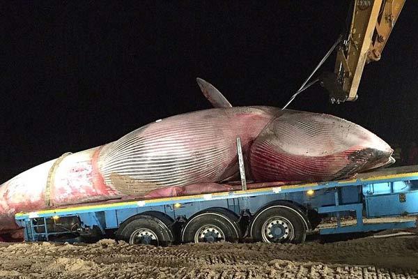 一条搁浅鲸鱼的下场