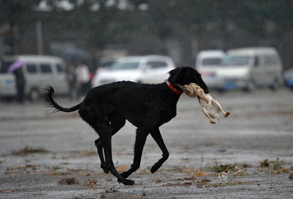 陕西细犬撵兔_陕西渭北雨中上演细狗撵兔_国内新闻_环球网
