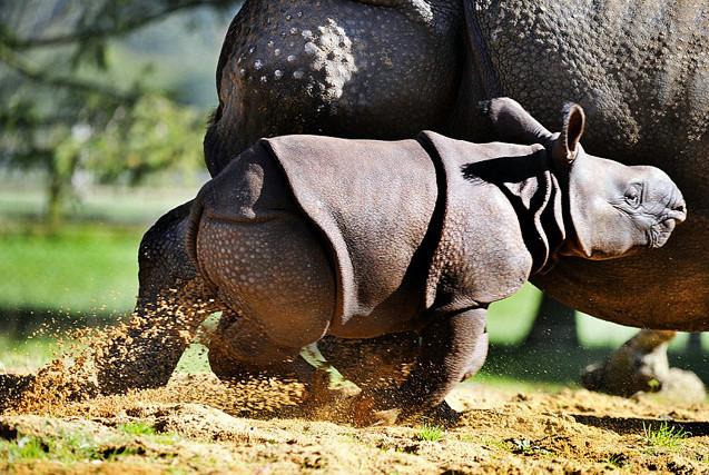 英满月犀牛宝宝首亮相 呆萌可爱