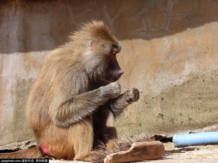 英动物园狒狒剔牙模样滑稽好笑