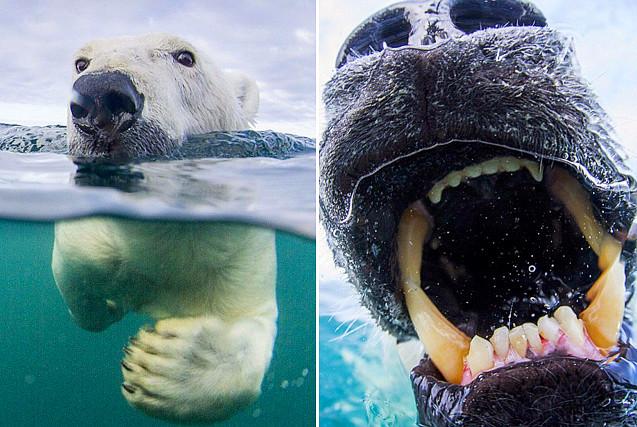 加北极熊误将相机当食物露锋利牙齿